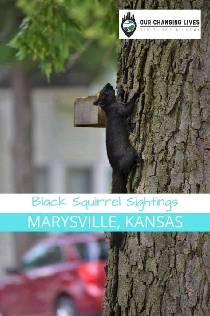 Black Squirrel Sightings-Marysville Kansas-mascot-black squirrels on parade