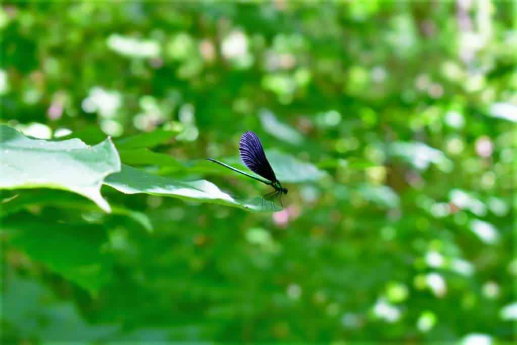 A colorful dragonfly rests on a leaf at the Parkville Nature Sanctuary.