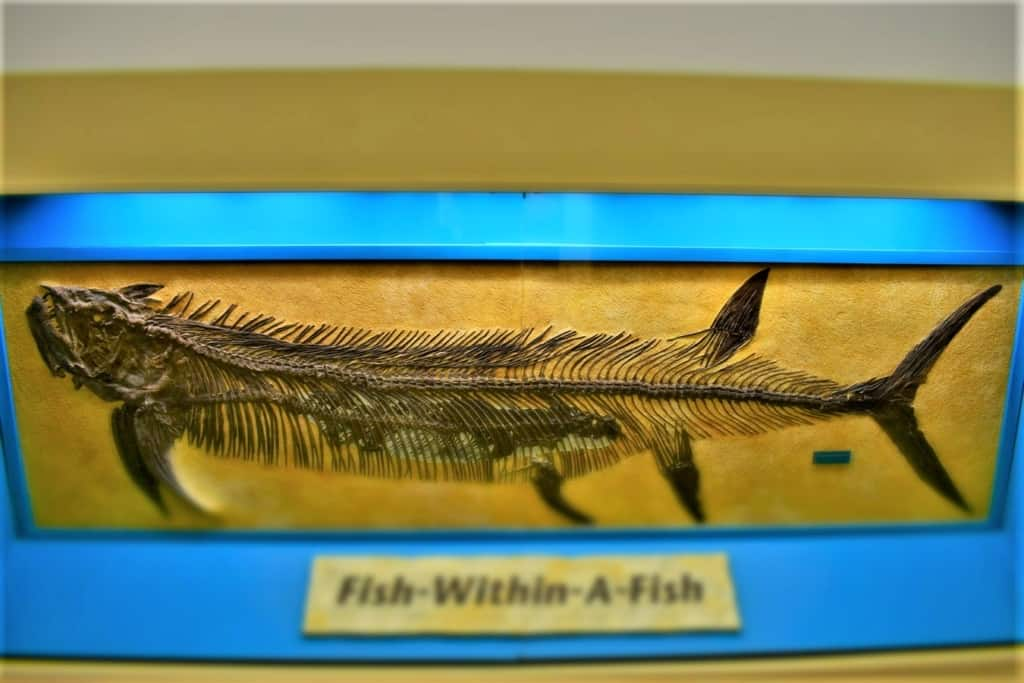 The fish with in a fish fossil is one of the most famous found at the Sternberg Museum.