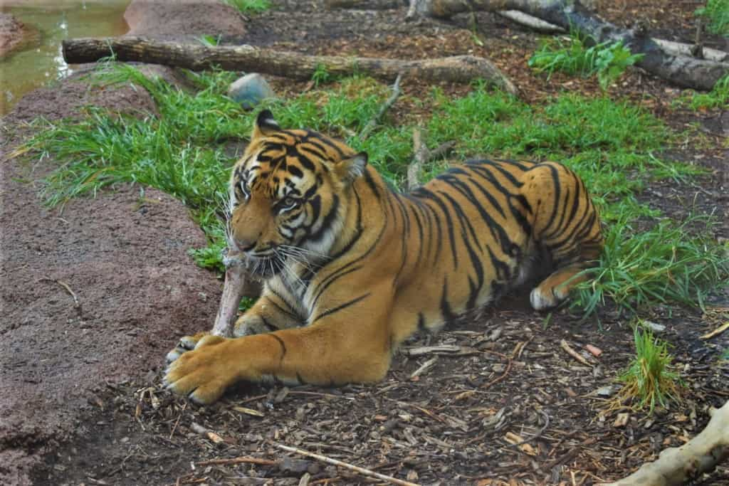 A Sumatran Tiger gnaws on a bone that was left over form its lunch.