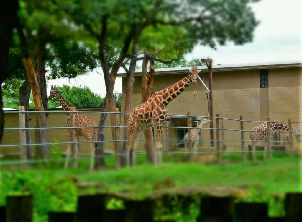 Meal time at the zoo includes plenty of hay for the giraffes.