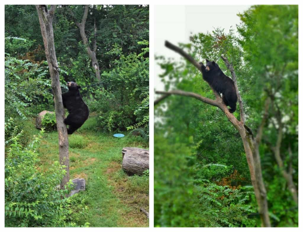 One of the black bears climbs a tree for a better view.