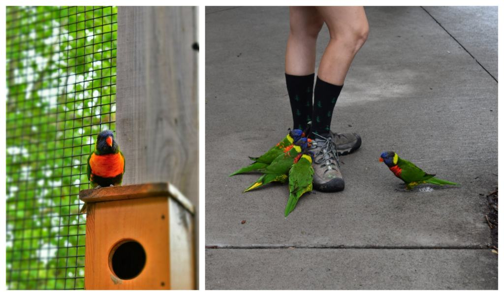 The brightly colored Lorikeets are playful and loud.
