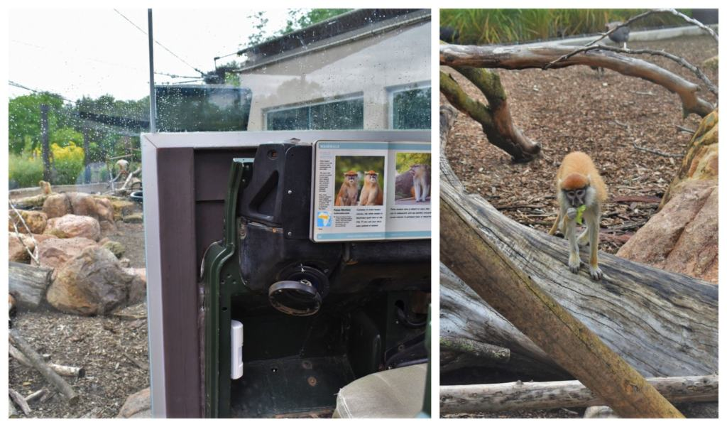 The Patas monkeys enjoy plenty of space in their Camp Cowabunga exhibit.